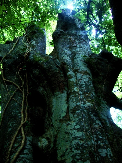 A massive Ent of a tree, with creeping vines and several canopies.