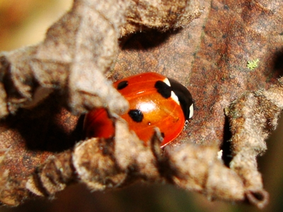 A ladybird emerges from a long winter sleep