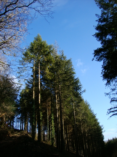 The 'thinning' pines of Stocks Wood, near Causeland, Cornwall